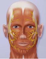Yüz sinirinin yüzdeki dağılımı
